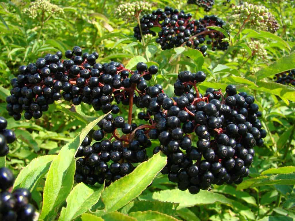 close up on wild elderberry